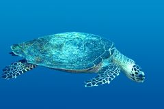 Sea Turtle. A tropical sea turtle, swimming underwater Stock Photo