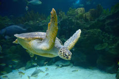 Free Sea Turtle Royalty Free Stock Photography - 48898177