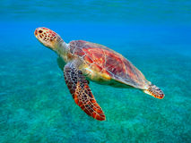 Free Sea Turtle Royalty Free Stock Image - 53602406