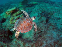 Loggerhead Sea Turtle. In about 20 Feet of water off the beach of Pompano Beach, Florida Stock Photos
