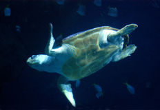 Sea turtle. In aquarium in Plymouth royalty free stock photography