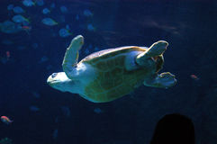 Sea turtle. In aquarium in Plymouth royalty free stock photos