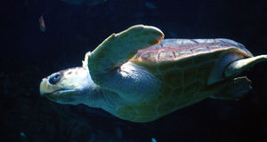 Sea turtle. In aquarium in Plymouth stock photos