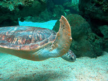Giant Sea Turtle. Swimming in an aquarium Royalty Free Stock Photo