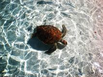 Sea Turtle. Photo of a sea turtle in a marine sactuary in Bora Bora Royalty Free Stock Photos