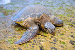 Sea turtle. Green Hawaiian sea turtle Royalty Free Stock Photography