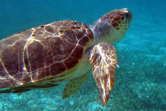 Sea turtle. A Hawskbill sea turtle swims above the eelgrass off the coast of Belize Royalty Free Stock Photos
