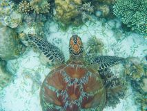 Sea turtle above sand and coral on seabottom. White coral sand and coral reef.