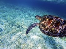 Sea turtle above white sand sea bottom. Coral reef animal underwater photo. Royalty Free Stock Photo
