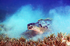 Sea turtle. Accompanied by two remoras stuck in its shell Stock Photo