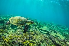 Sea turtle and beautiful underwater scene with marine life in sunlight in the blue sea. Maldives underwater paradise Stock Photo