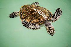Sea turtle. In animal hospital Royalty Free Stock Photography
