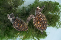 Sea turtle. In animal hospital Stock Images