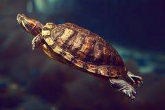 Sea turtle in an aquarium in dark blue water royalty free stock image