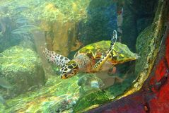 Sea turtle in the aquarium of Eilat. Israel royalty free stock photography