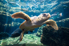 Sea turtle at aquarium 2 Royalty Free Stock Photo