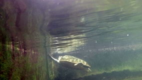 Sea turtle in aquarium. Sea turtle under water shot stock video