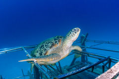 Sea turtle on an artificial reef. Sea turtle resting on an artificial reef in asia royalty free stock photos