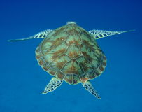 Sea turtle back. Green sea turtle swimming to sea bed with flippers spread back view Royalty Free Stock Image