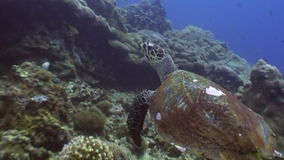 Sea turtle on background of colorful coral underwater in ocean of Philippines. stock video footage