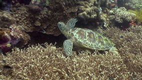 Sea turtle on background of colorful coral underwater in ocean of Philippines. stock footage