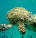 Sea Turtle Barbados Barbados Blue Royalty Free Stock Photo