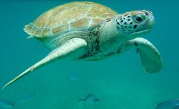 Sea Turtle Barbados Stock Images