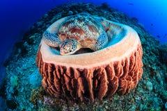 Sea Turtle in a barrel sponge Royalty Free Stock Image