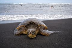 Sea turtle on beach. Single sea turtle on black sand beach on Big Island, Hawaii, with swimmers seen in background Royalty Free Stock Photos