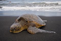 Sea turtle on beach. Single sea turtle on black sand beach on Big Island, Hawaii, with swimmers seen in background Stock Images
