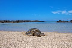 Sea turtle on a beach Royalty Free Stock Photography