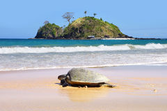 Sea turtle on beach. El Nido Stock Images