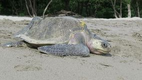 Sea turtle on the beach. Of Nicaragua after nesting stock video