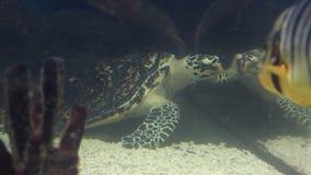 Sea turtle. In the beautifully decorated Marine Aquarium stock video footage
