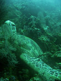 Sea Turtle bed on coral reef sipadan borneo Royalty Free Stock Image