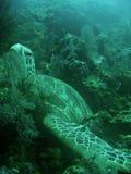 Sea Turtle bed on coral reef sipadan borneo. Green turtle resting in soft coral reef underwater sipadan island in sabah borneo Royalty Free Stock Image