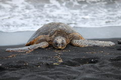 Sea Turtle on Black Sand Beach. On the Big Island of Hawaii Stock Photos