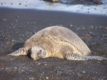 Sea turtle on black sand beach. In Hawaii Stock Photo