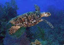 Sea turtle in blue ocean Stock Images