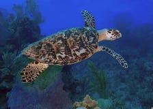 Sea turtle in blue ocean Stock Images
