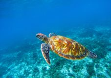Sea turtle in blue ocean closeup. Green sea turtle closeup. Endangered species of tropical coral reef. Stock Photo