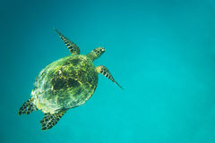 Sea turtle in the blue ocean Stock Images