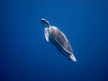 Sea turtle in the blue sea Stock Photography