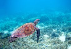 Sea turtle in blue sea water. Green sea turtle closeup. Wildlife of tropical coral reef. Royalty Free Stock Photo