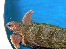 Sea turtle in blue water Royalty Free Stock Images