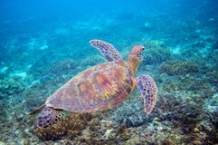 Sea turtle in blue water above coral reef. Tropical sea nature of exotic island. Stock Photos