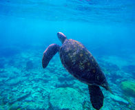 Sea turtle in blue water by coral reef, Philippines, Apo island. Olive ridley turtle in blue sea Royalty Free Stock Photos