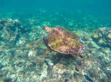 Sea turtle in blue water. Green sea turtle close photo. Royalty Free Stock Image