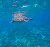 Sea turtle in blue water, green turtle swimming, rare marine species Royalty Free Stock Photos