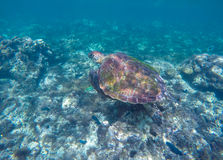 Sea turtle in blue water. Ocean animal - green sea turtle with big shell with seaweeds. Stock Photo